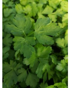 Parsley 'French'