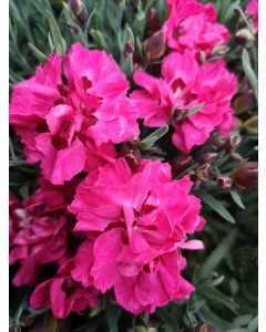 Dianthus 'Early Love'