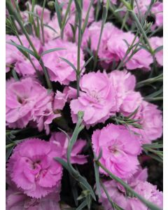 Dianthus can can